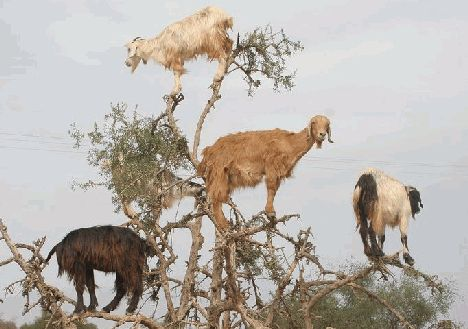 goat_tree_argan_climbing_morocco